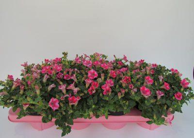 Beetpflanzen 13er J.B.K 001