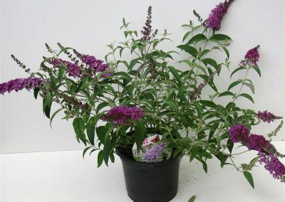 Buddleia Buzz T19