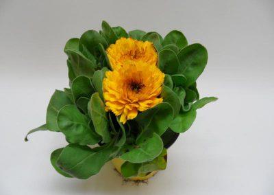 Calendula gelb T14