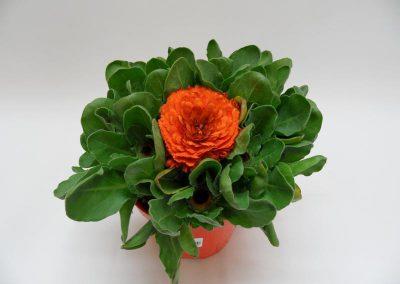 Calendula orange T14