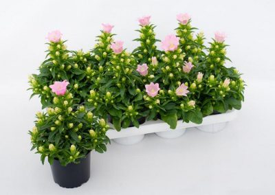 Campanula medium Rosa T12