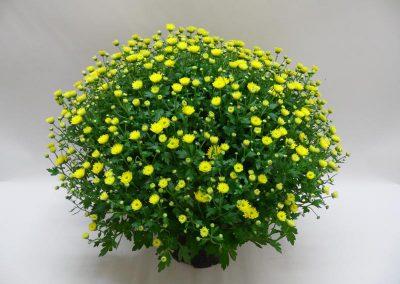 Chrysanthemenbusch-T19