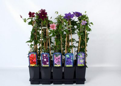 Clematis 3-stok mix tray