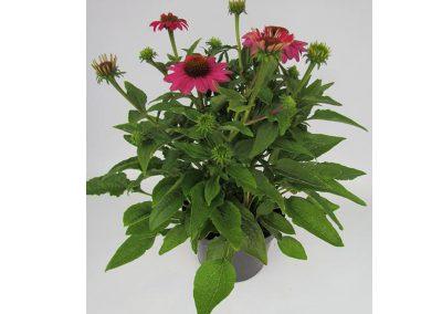 Echinacea b