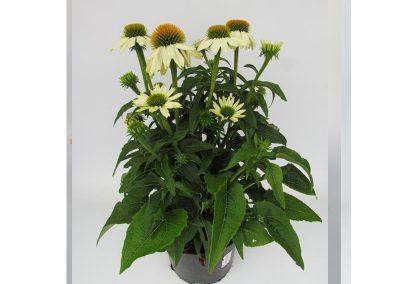 Echinacea c