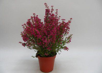 Erica-gracilis-T12