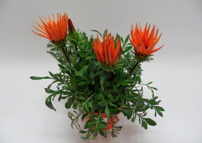 Gazania orange T14 c