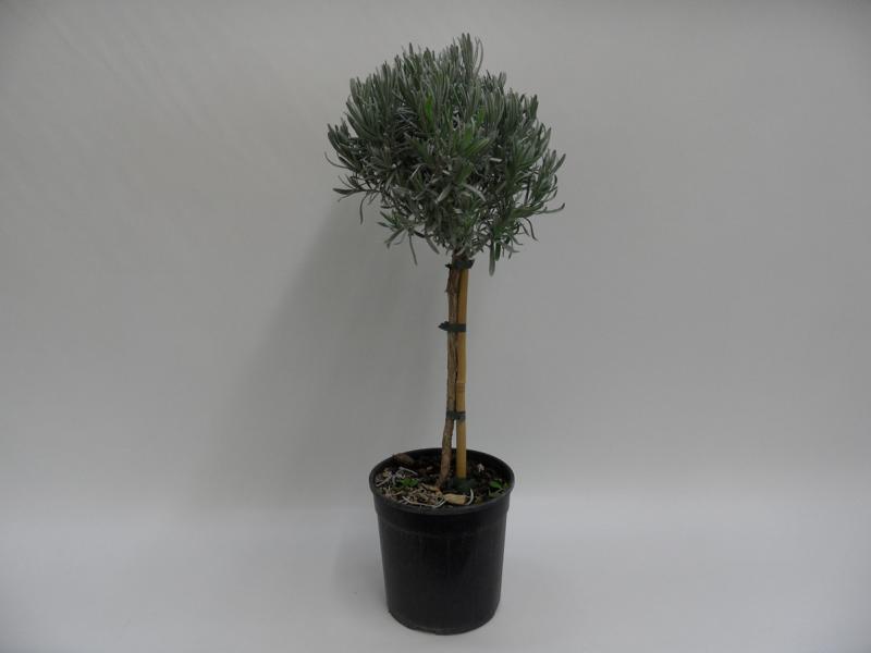 Lavendel-Stamm-T18
