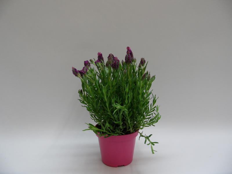 Lavendel-Stoechas-T12-pink-b