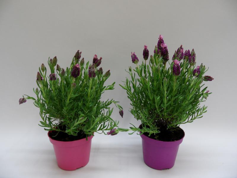 Lavendel-Stoechas-T12-pink-und-lila