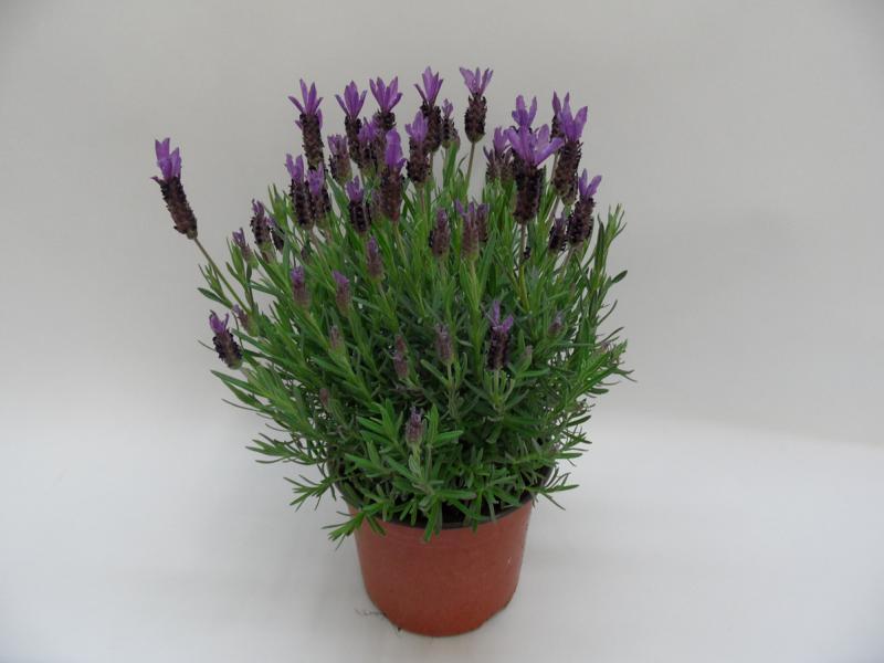 Lavendel-Stoechas-T18-b