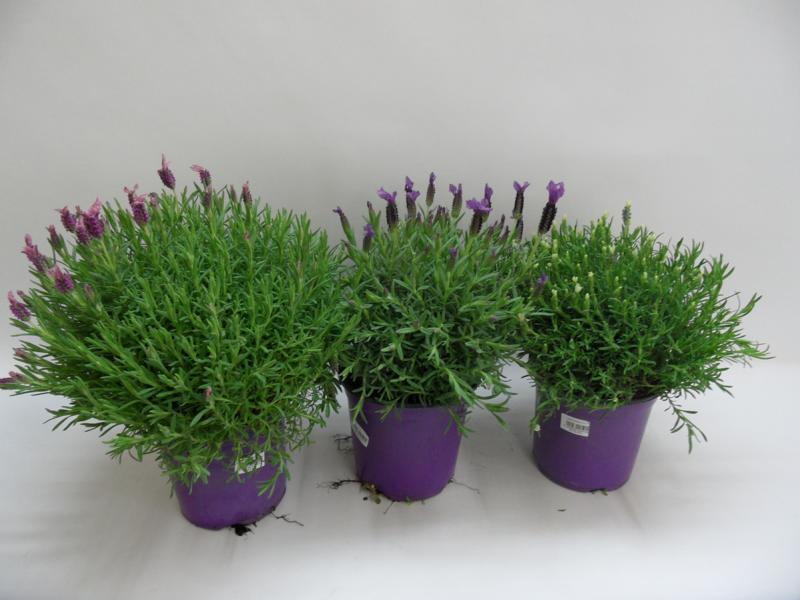 Lavendel-Stoechas-b