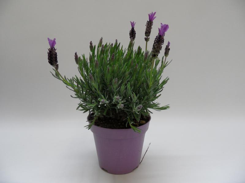 Lavendel-Stoechas-lila-T14-einzeln