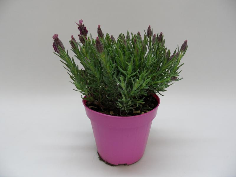 Lavendel-Stoechas-rosa-T14-einzeln