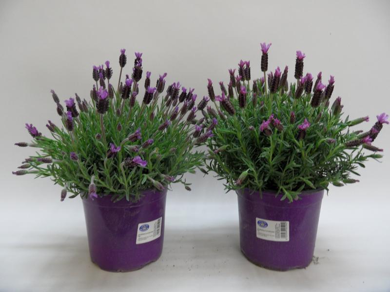 Lavendel-Stoechas