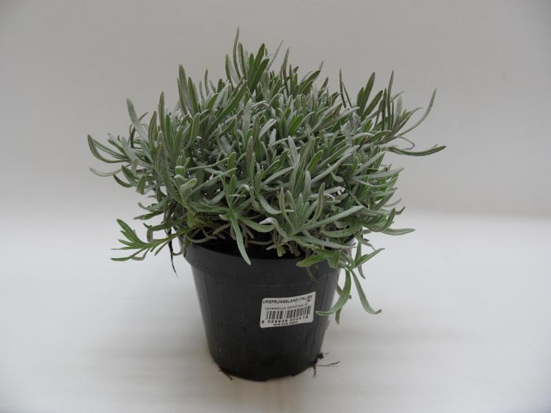 Lavendel-angustifolia