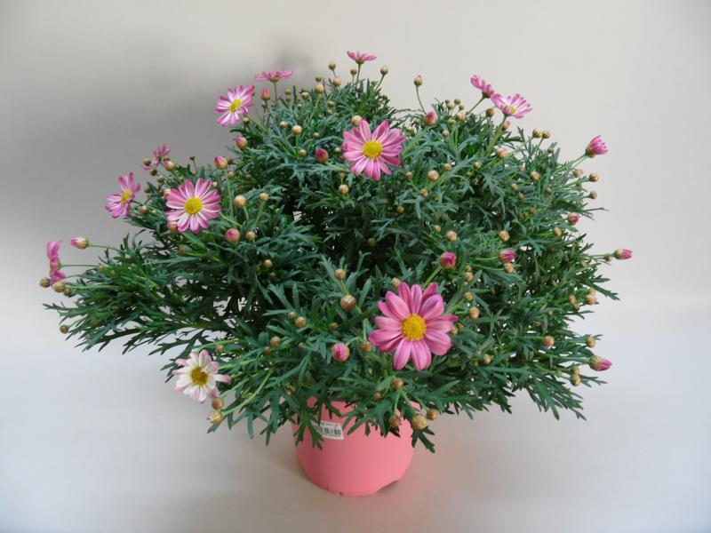 Marg-rosa-T18-1