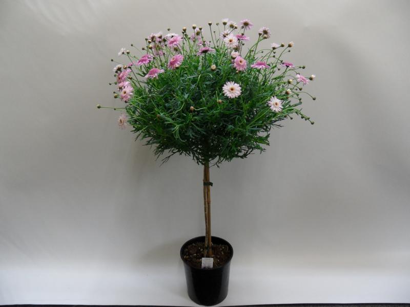 Margeritenstamm-T18-rosa-1