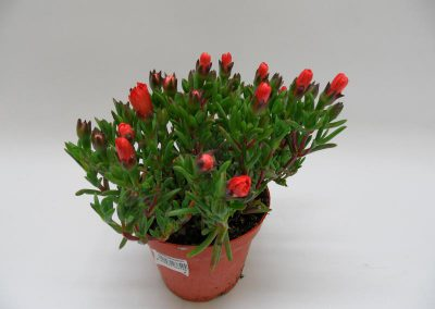 Mesembryanthemum T14 orange einzeln b