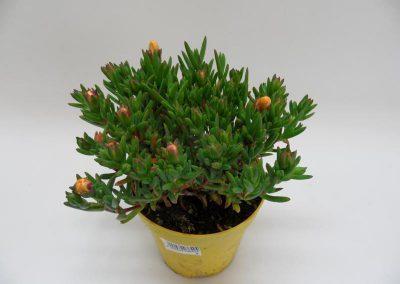 Mesembryanthemum gelb T14a