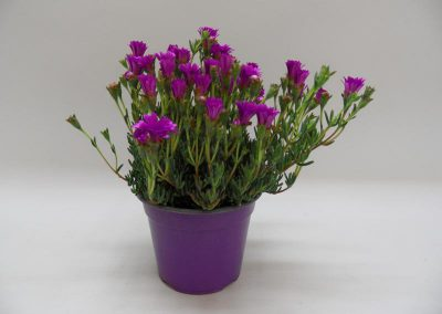 Mesmebryanthemum T14