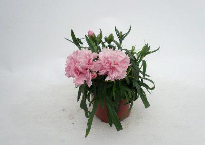 Nelke T10,5 rosa
