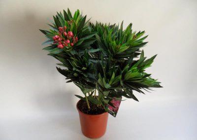 Oleander T20