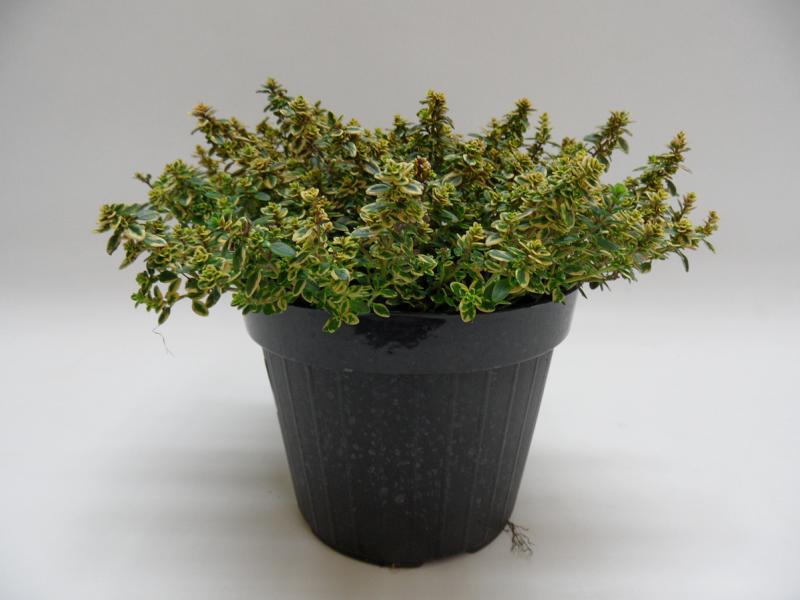 Thymus Citrodorus Aureus T14