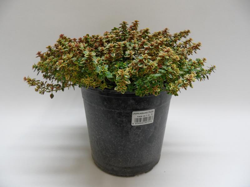 Thymus Citrodorus Aureus T18