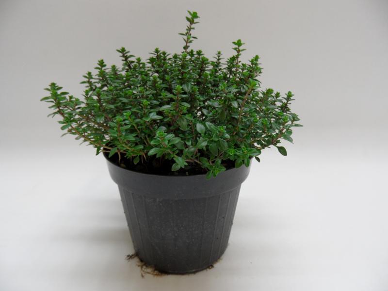 Thymus Citrodorus T14