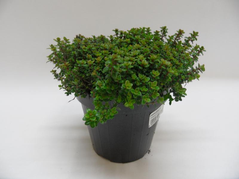 Thymus Citrodorus