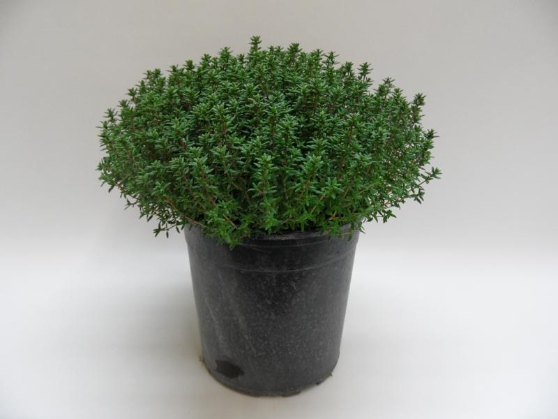 Thymus Faustini T18