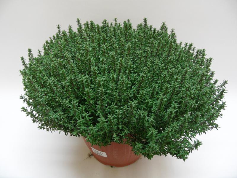 Thymus Faustini T25 einzeln a