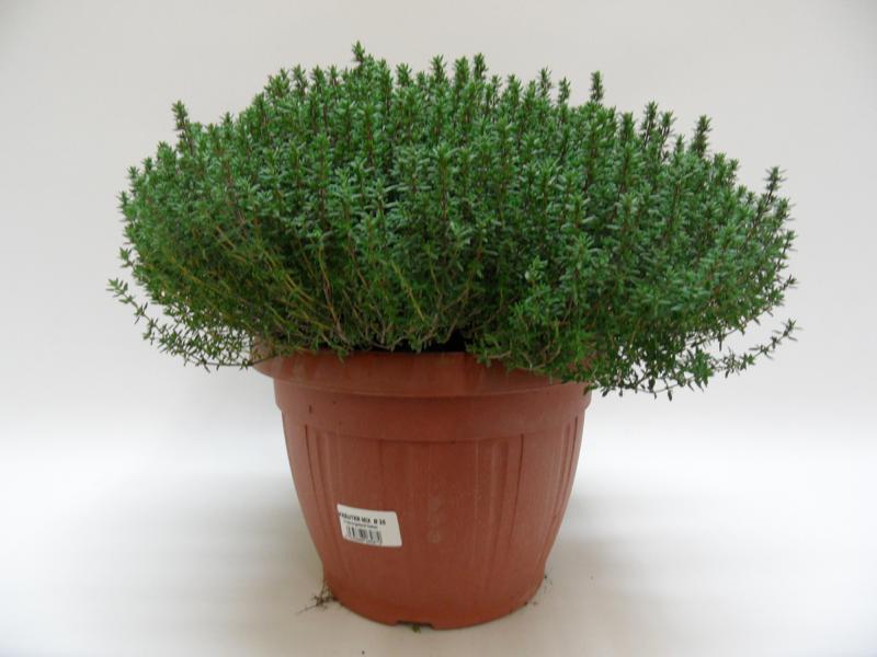 Thymus Faustini T25 einzeln