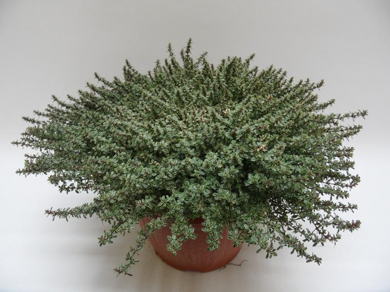 Thymus Silver Queen T25 einzeln a