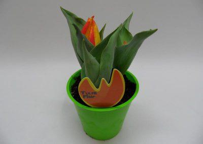 Tulpe b