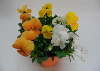 Viola cornuta Trios T14 c