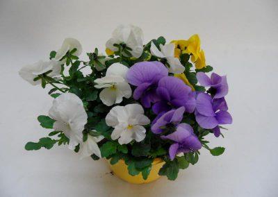 Viola cornuta Trios T14 d