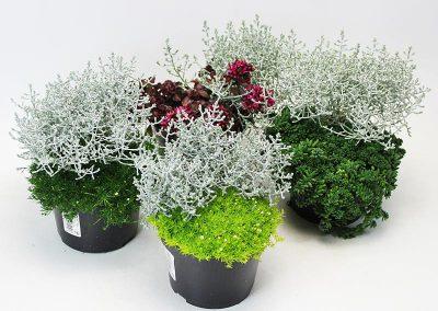 Zusammenpflanzung-Calocephalus-