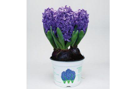 hyacint_blauw