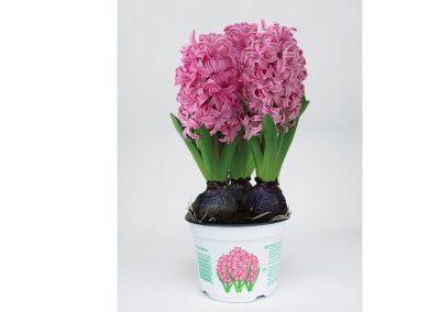 hyacint_rose