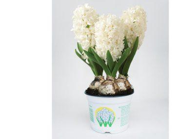 hyacint_wit
